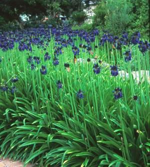 Agapanthus plants