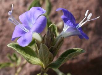 Barleria rogersii flowers and foliage