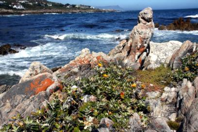 Growing at Betty's Bay