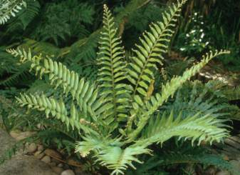 Young Blechnum tabulare