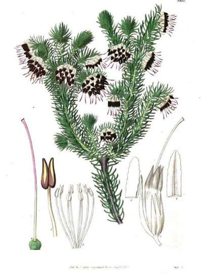 Simms illustrated in Curtis Botanical mMgazine